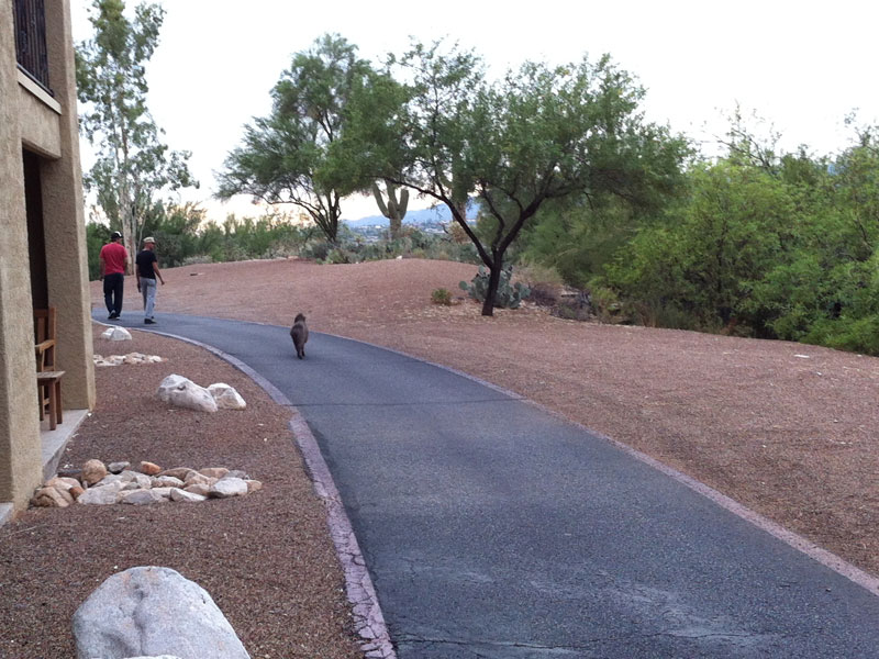 Javelina alpha following two suspicious characters