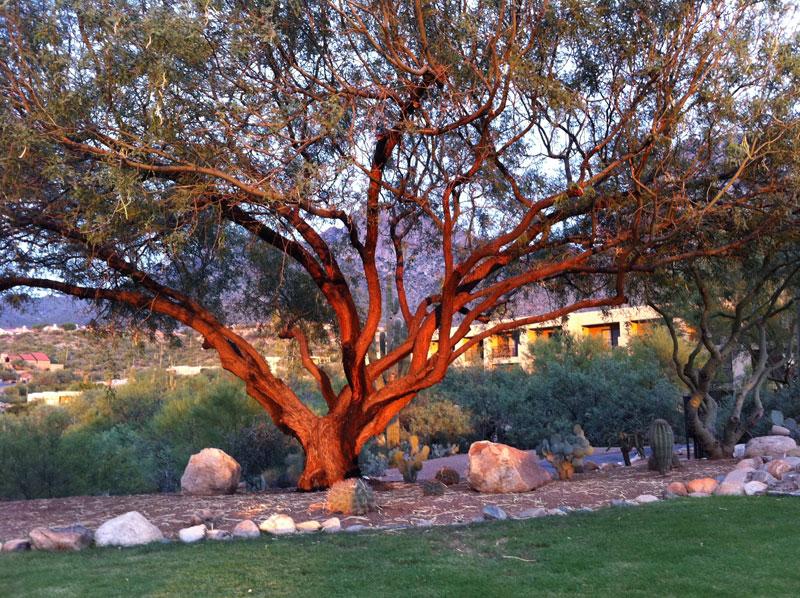 Sunset tree at Sunset Pointe